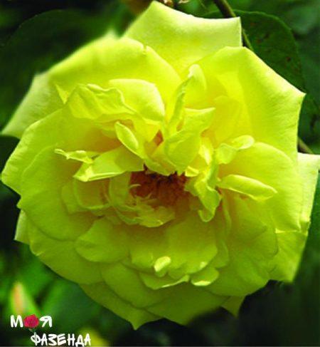 Казино роза