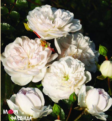 Кент роза
