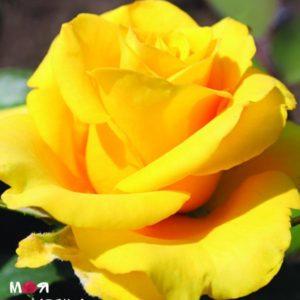 Керио роза