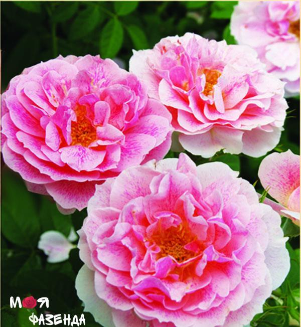 Кир Роял роза