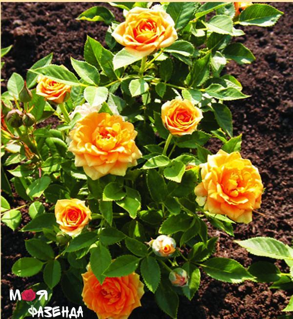 Клементина роза