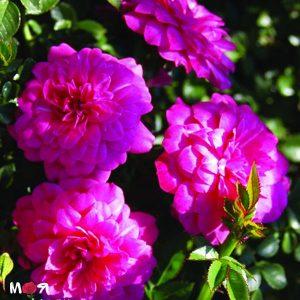 Книпрс роза