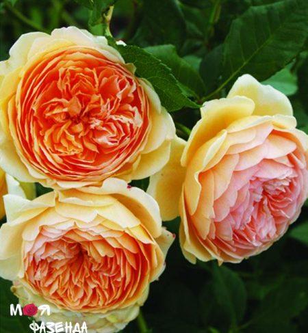 Кроун принцесса Маргеретт роза