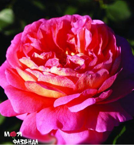 Кристофер Марлоу роза