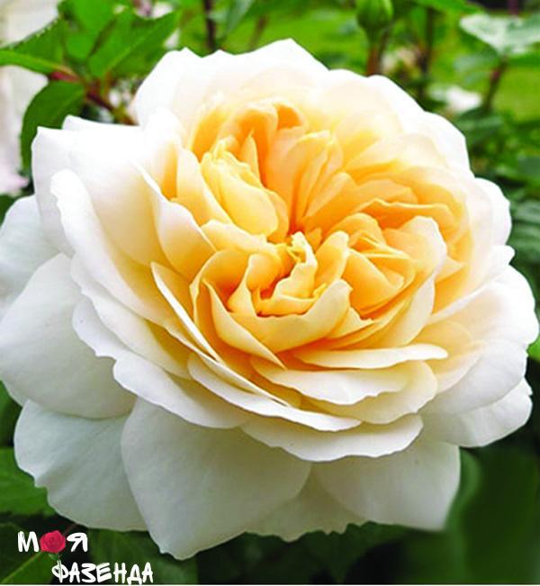 krokus rose
