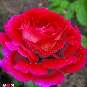 Кроненбург роза