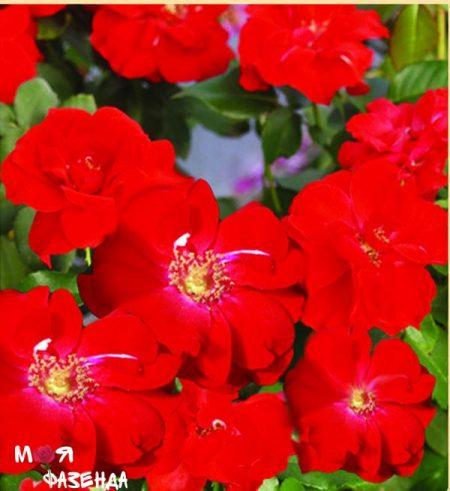 Ла Севилана роза
