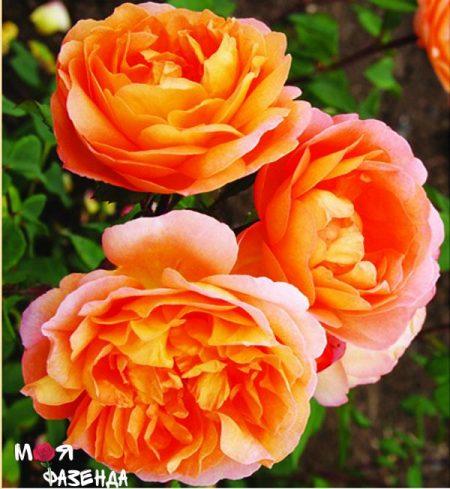 Леди Эмма Гамильтон роза
