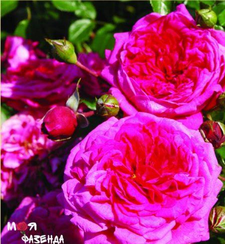 Лагуна роза