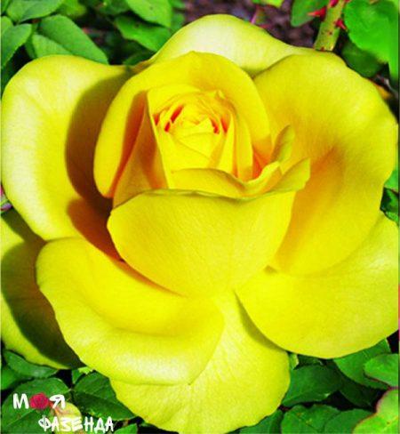 Латина роза