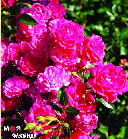 Лавли Фери роза