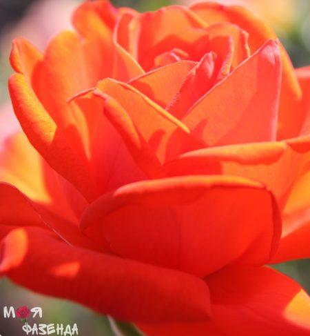 Роза Лидка