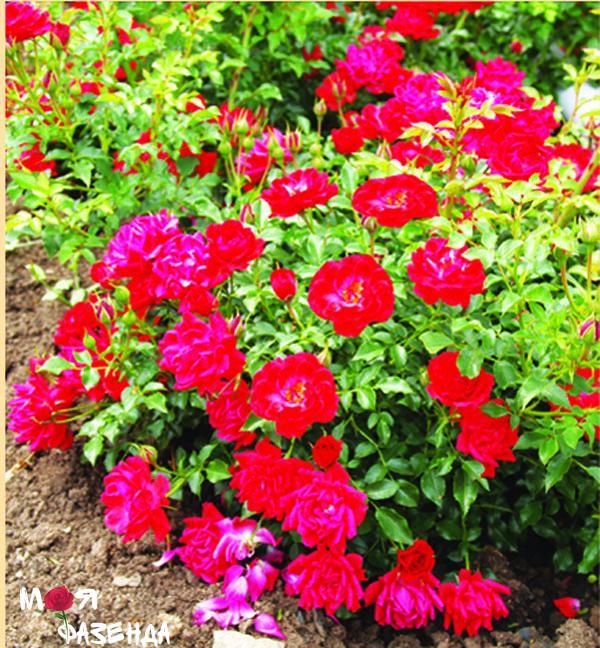 Лимес Глют роза