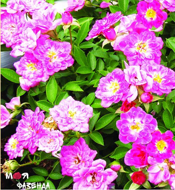 Лиместерн роза
