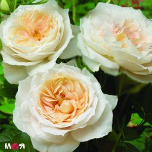 Лионс роза