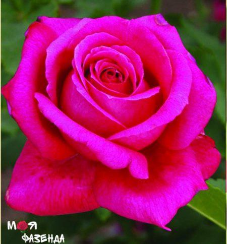 Лолита Лемпийская роза