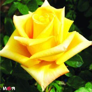 Махана роза