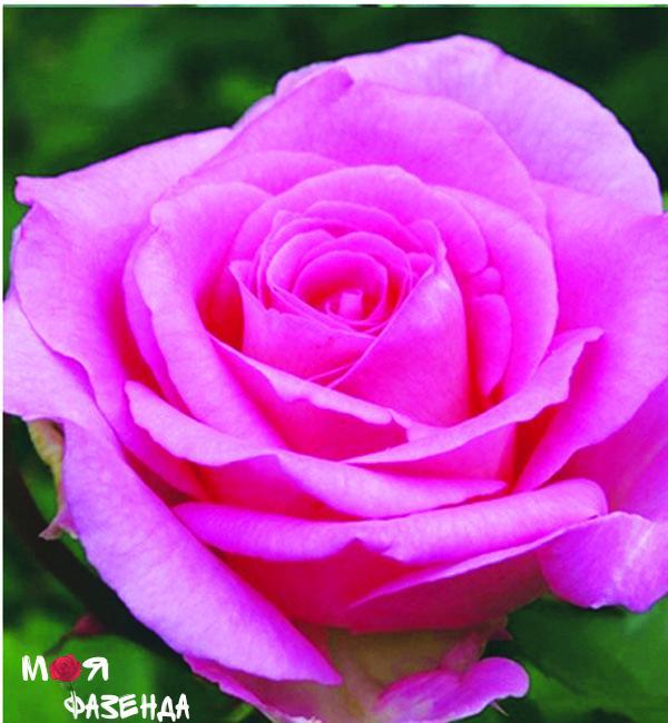 Маккартни роза