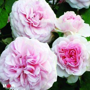 Мария Терезия роза