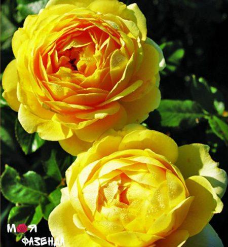 Марселис Борг роза