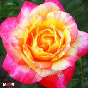 Rose Marvel