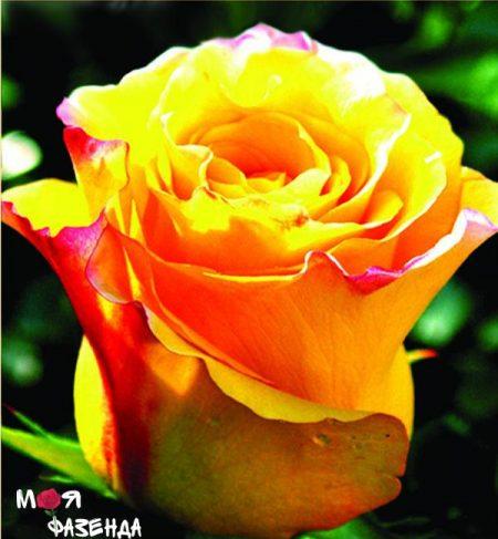 Мери Клер роза