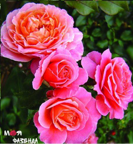 Мари Кюри роза