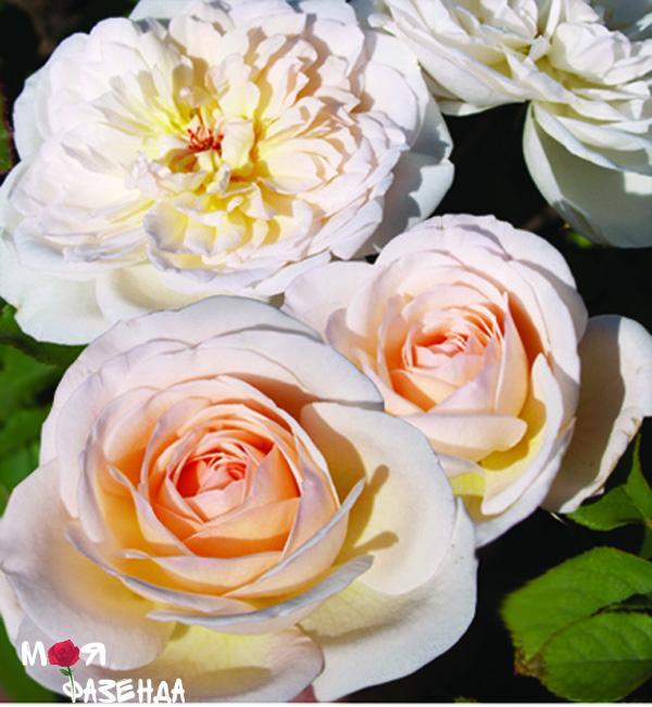 mary-magdalena rose