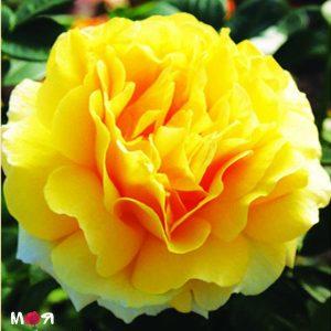 Микелянджело роза