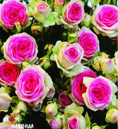 Мими Эдем роза