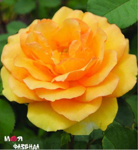 Миниатюрная желтая роза