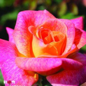 Мишель Серо роза