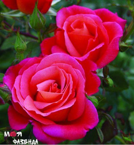 Фрезингер Моргенрот роза