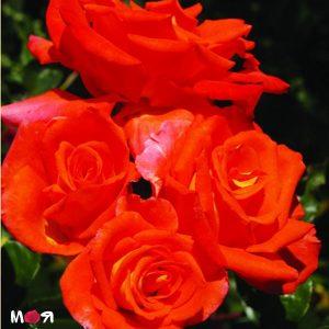 Моника роза