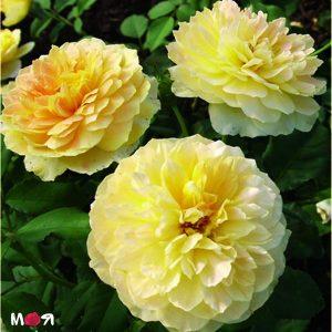 Мулинью роза