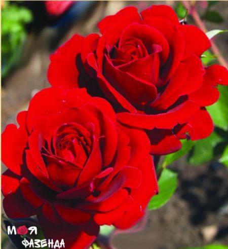 Найхеглют роза