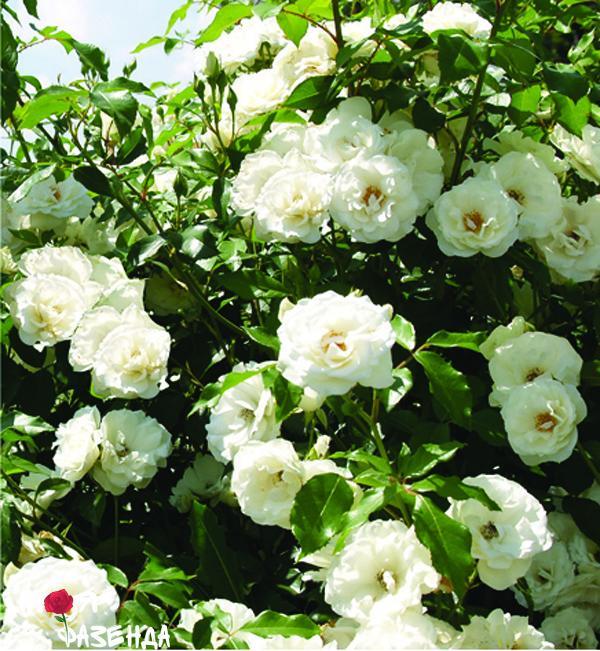 new-dawn-white rose