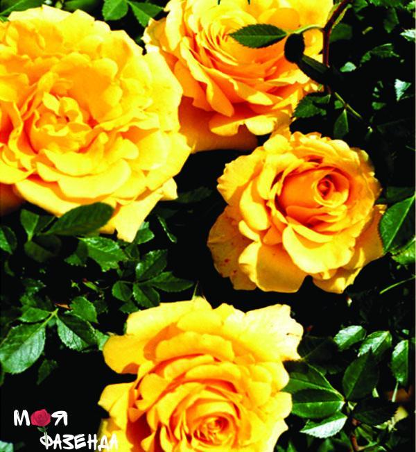 Ойвельд роза