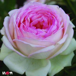 Роза Оноре де Бальзак
