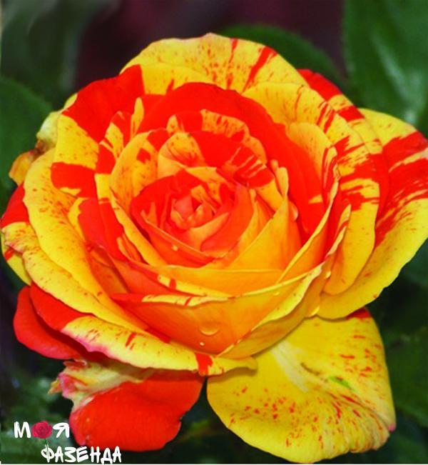 Оранж энд Лемон роза