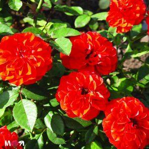 Оранж беби фло роза