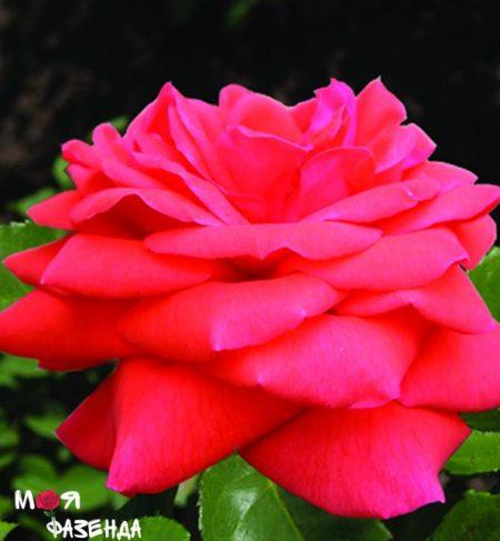 Оранж Доун роза