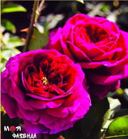 Отелло роза