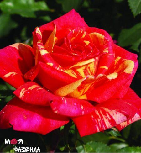 Пападжено роза