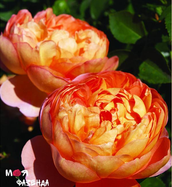Пат Остин роза