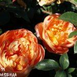Роза Пат Остин