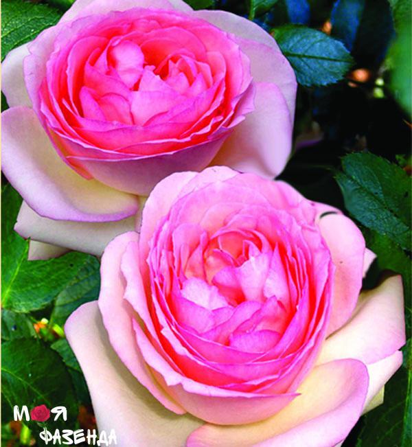 Пьер де Ронсар роза