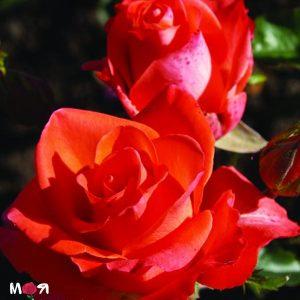 Пикало роза