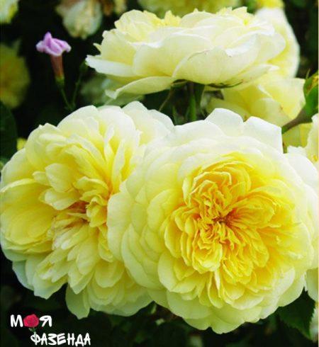 Пилигримм роза