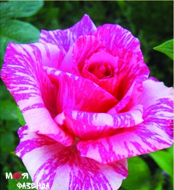 Пинк интуиция роза
